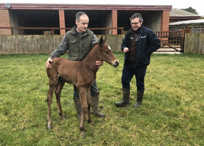 Sixties Icon Filly ex Follow The Faith on her first venture into the nursery paddock at Norman Court.